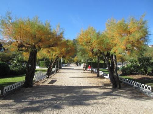 Pruned tamarind trees