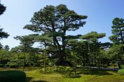 The great tree of Kenrokuen Garden