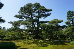 The great tree of Kenrokuen Garden