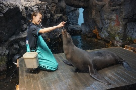 A trainer feeds the sea lions