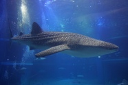 One of the whale sharks