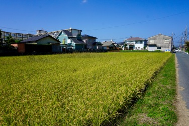A few rice paddies are scattered across town