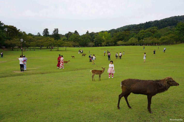Japan Nara Park Deer