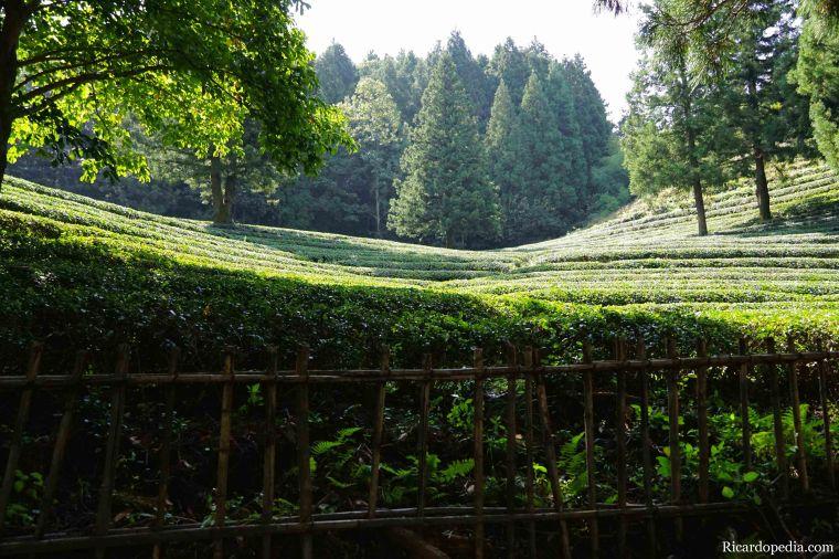 Boseong Korea Tea Plantation