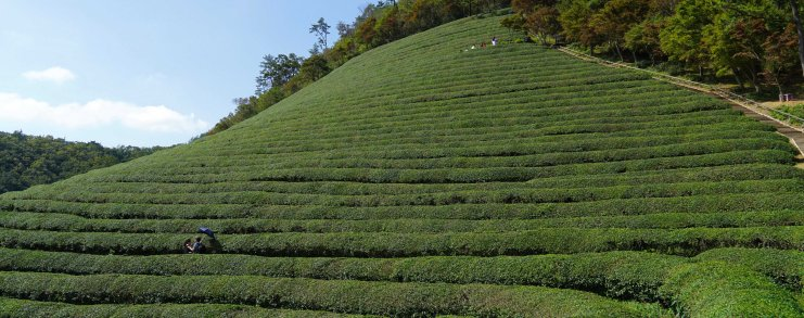 Boseong Korea Tea Plantation